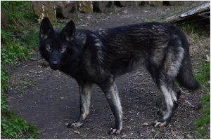 wolfdog perro lobo ártico