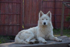 wolfdog o perro lobo ártica