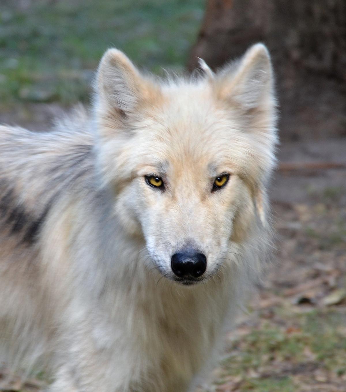 el lobo, un esitilo de vida